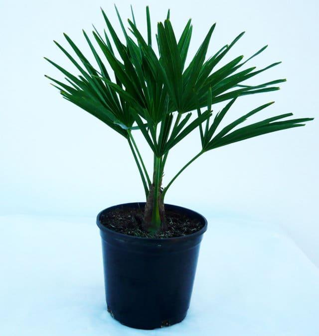 Trachycarpus Fortunei C-14