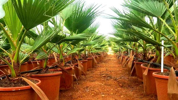 Washingtonia Robusta C-20
